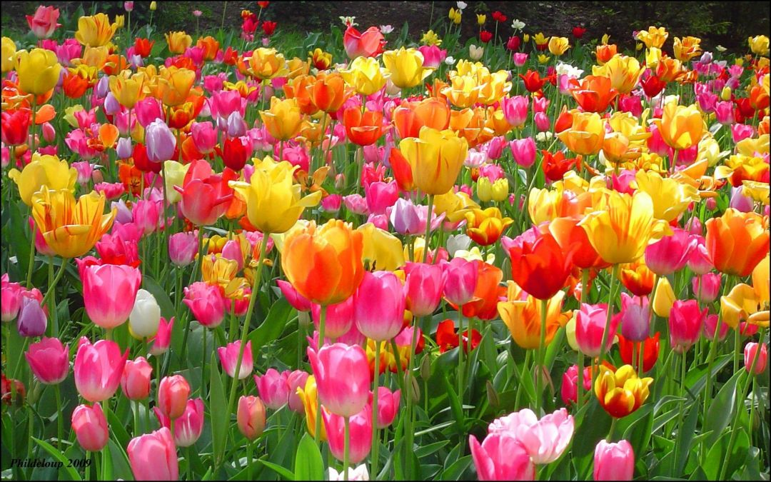 Tulips Background - Android, iPhone, Desktop HD Backgrounds / Wallpapers (1080p, 4k) (337493) - Flowers