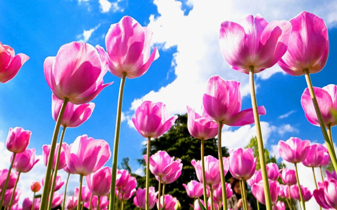 Tulips background - Android, iPhone, Desktop HD Backgrounds / Wallpapers (1080p, 4k) (408748) - Flowers