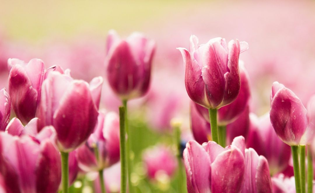 Tulips background - Android, iPhone, Desktop HD Backgrounds / Wallpapers (1080p, 4k) (408746) - Flowers