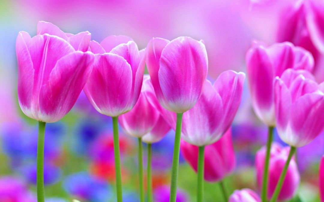 Tulips Background - Android, iPhone, Desktop HD Backgrounds / Wallpapers (1080p, 4k) (337430) - Flowers