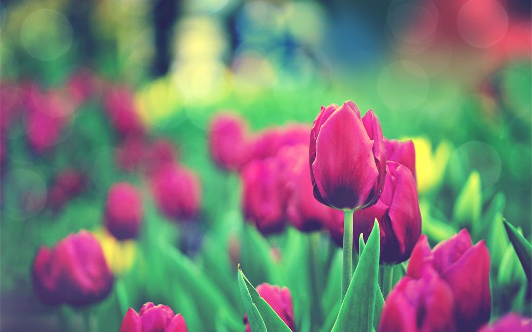 Tulips Background - Android, iPhone, Desktop HD Backgrounds / Wallpapers (1080p, 4k) (337446) - Flowers