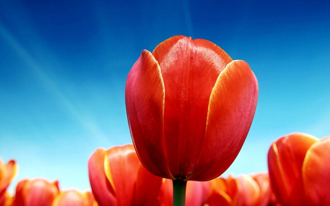Tulips background - Android, iPhone, Desktop HD Backgrounds / Wallpapers (1080p, 4k) (408655) - Flowers