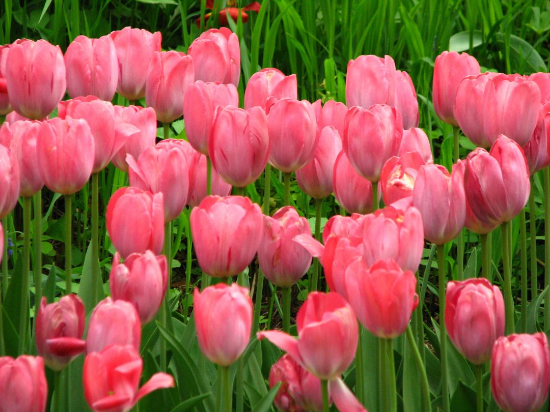 Tulips background - Android, iPhone, Desktop HD Backgrounds / Wallpapers (1080p, 4k) (408828) - Flowers
