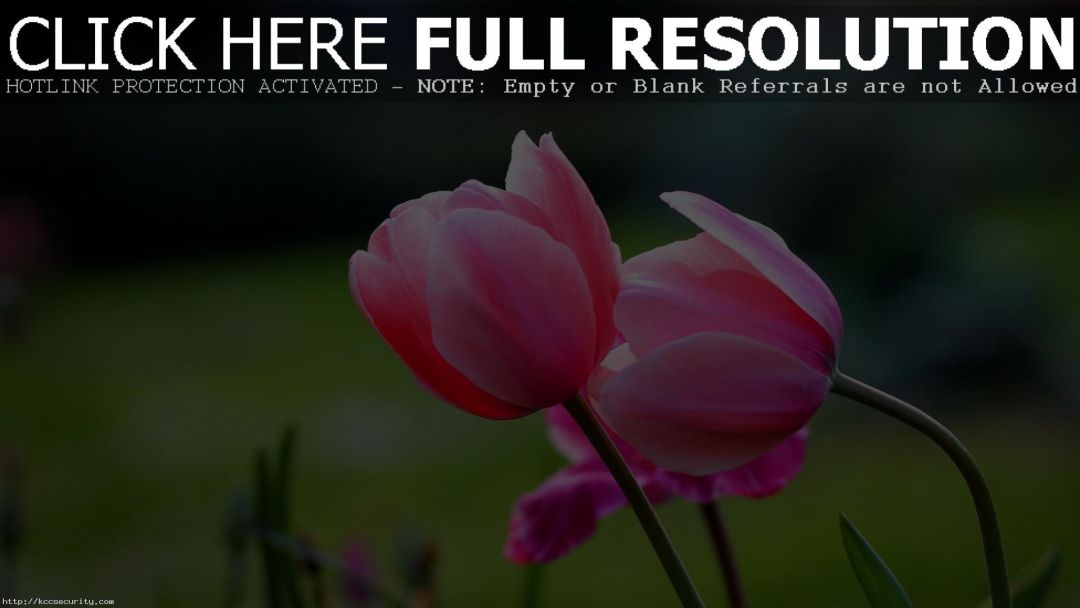 Tulips background - Android, iPhone, Desktop HD Backgrounds / Wallpapers (1080p, 4k) (408695) - Flowers