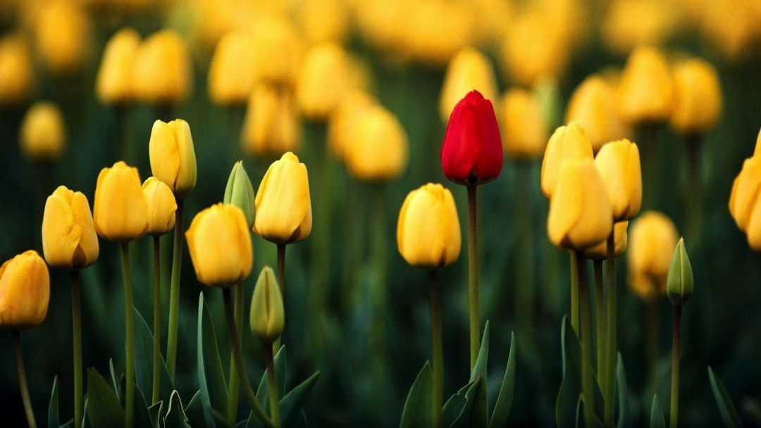 Tulips background - Android, iPhone, Desktop HD Backgrounds / Wallpapers (1080p, 4k) (408657) - Flowers