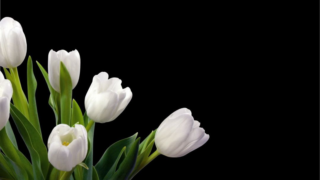 Tulips Background - Android, iPhone, Desktop HD Backgrounds / Wallpapers (1080p, 4k) (337429) - Flowers
