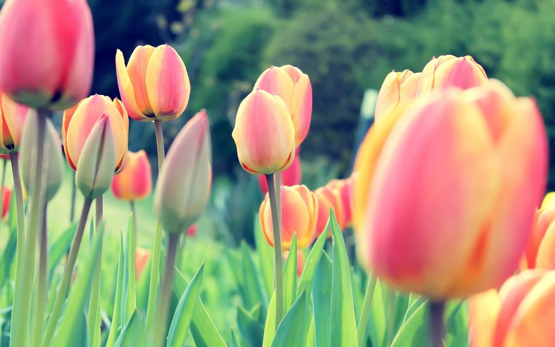 Tulips background - Android, iPhone, Desktop HD Backgrounds / Wallpapers (1080p, 4k) (408778) - Flowers