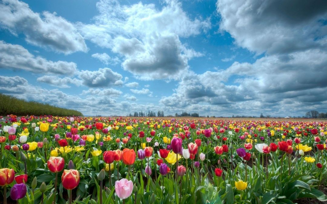 Tulips background - Android, iPhone, Desktop HD Backgrounds / Wallpapers (1080p, 4k) (408765) - Flowers