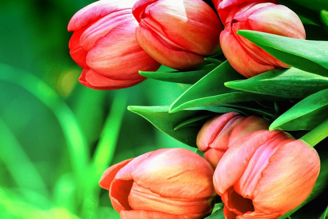 Tulips Background - Android, iPhone, Desktop HD Backgrounds / Wallpapers (1080p, 4k) (337480) - Flowers