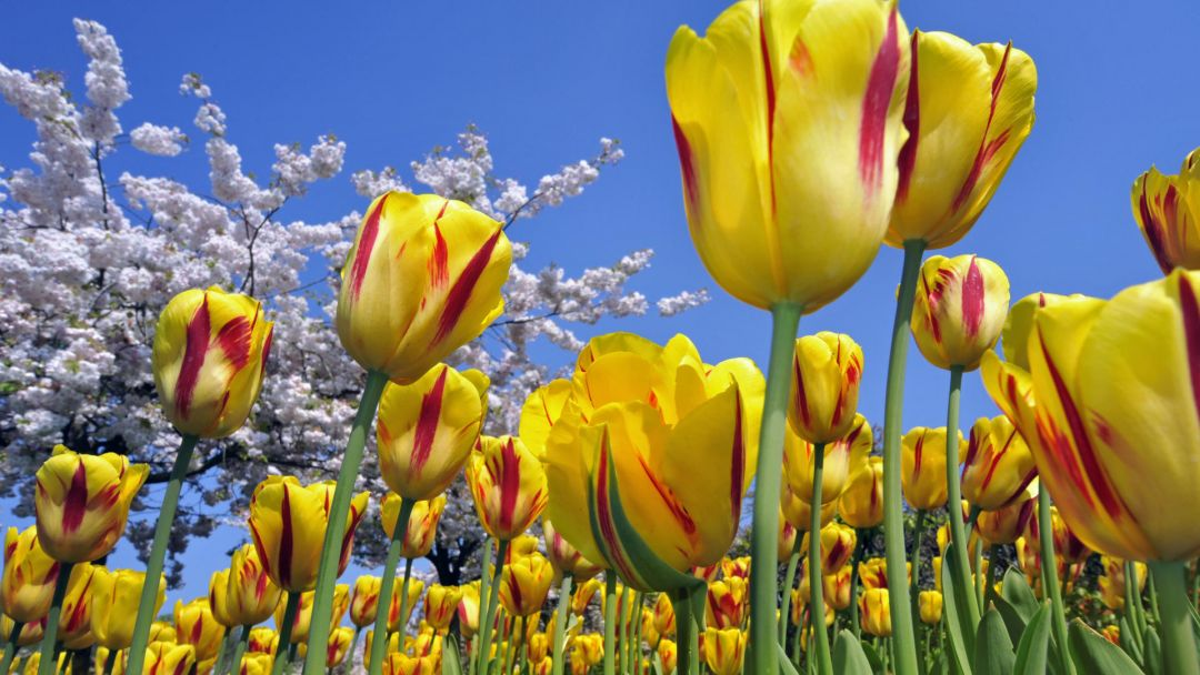 Tulips background - Android, iPhone, Desktop HD Backgrounds / Wallpapers (1080p, 4k) (408815) - Flowers