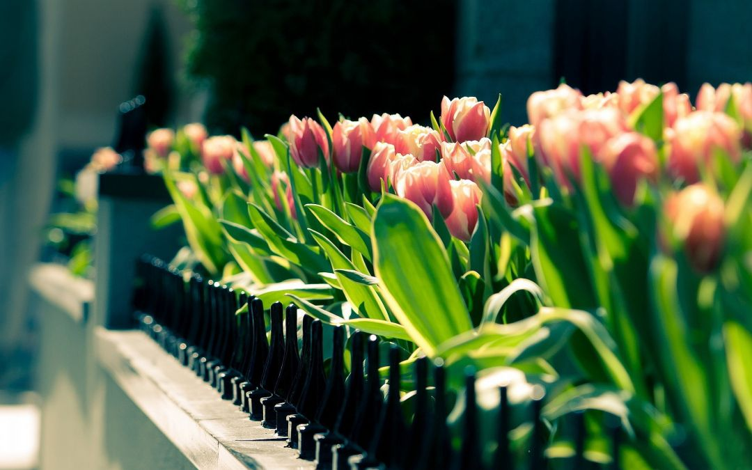 Tulips background - Android, iPhone, Desktop HD Backgrounds / Wallpapers (1080p, 4k) (408674) - Flowers
