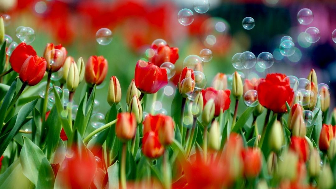 Tulips Background - Android, iPhone, Desktop HD Backgrounds / Wallpapers (1080p, 4k) (337427) - Flowers