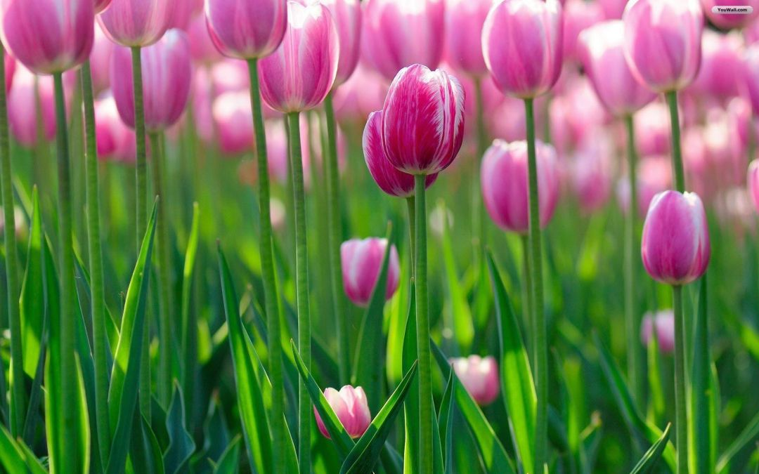 Tulips background - Android, iPhone, Desktop HD Backgrounds / Wallpapers (1080p, 4k) (408677) - Flowers
