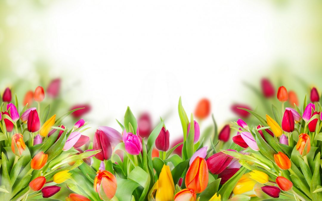 Tulips Background - Android, iPhone, Desktop HD Backgrounds / Wallpapers (1080p, 4k) (337488) - Flowers