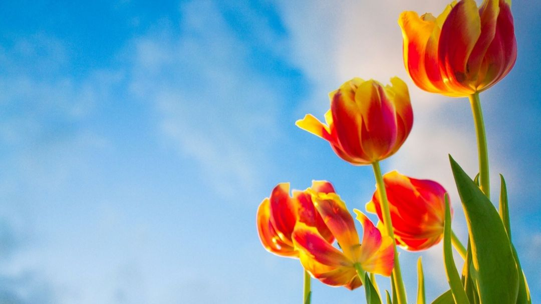 Tulips Background - Android, iPhone, Desktop HD Backgrounds / Wallpapers (1080p, 4k) (337544) - Flowers